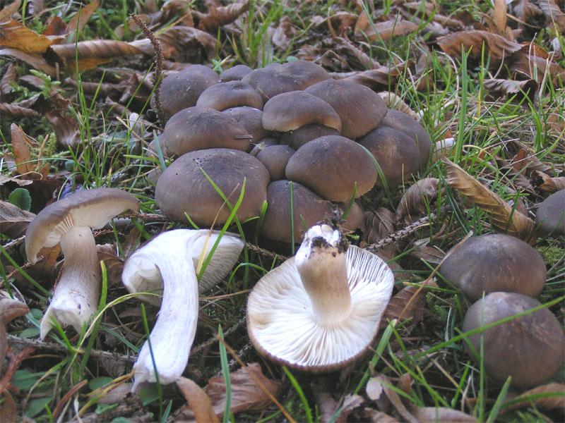 Рядовка скученная (Lyophyllum decastes)