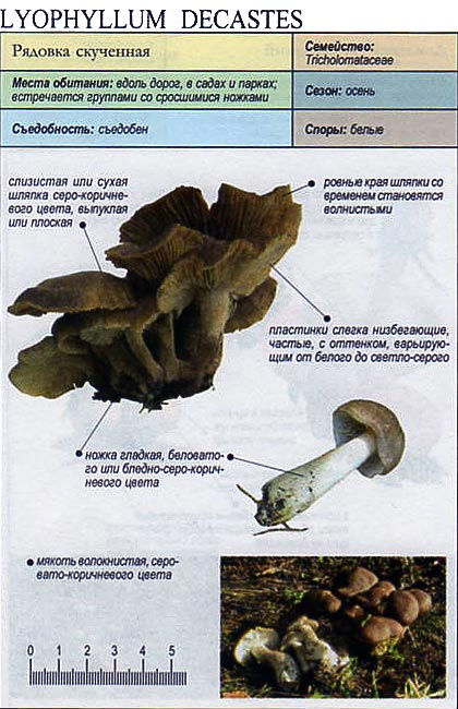 Рядовка скученная / Lyophyllum decastes