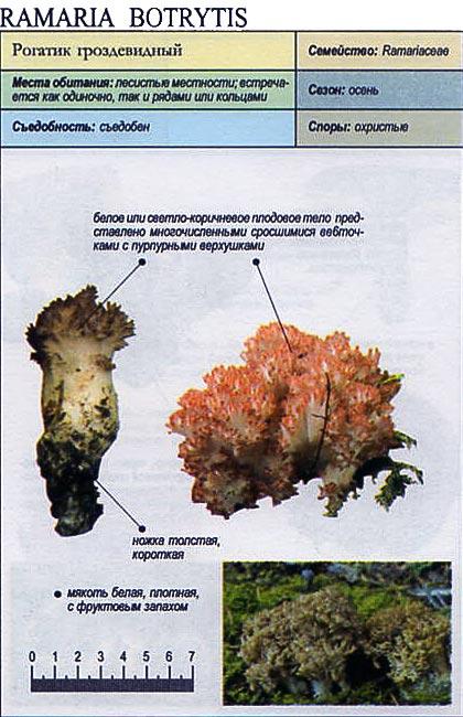Рогатик гроздевидный / Ramaria Botrytis