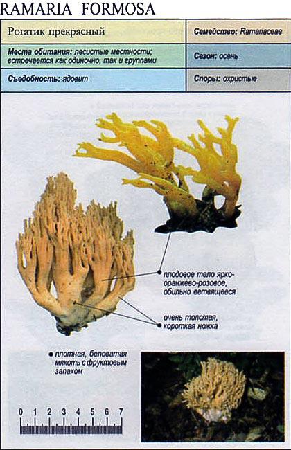 Рогатик прекрасный / Ramaria formosa
