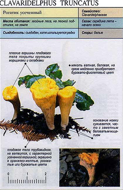 Рогатик усеченный / Clavaridelphus truncatus