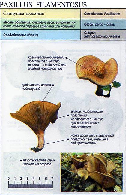Свинушка ольховая / Paxillus filamentosus
