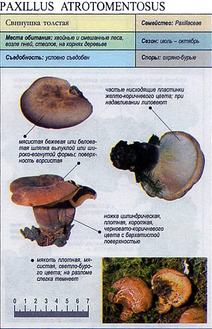 Свинушка толстая / Paxillus atrotomentosus