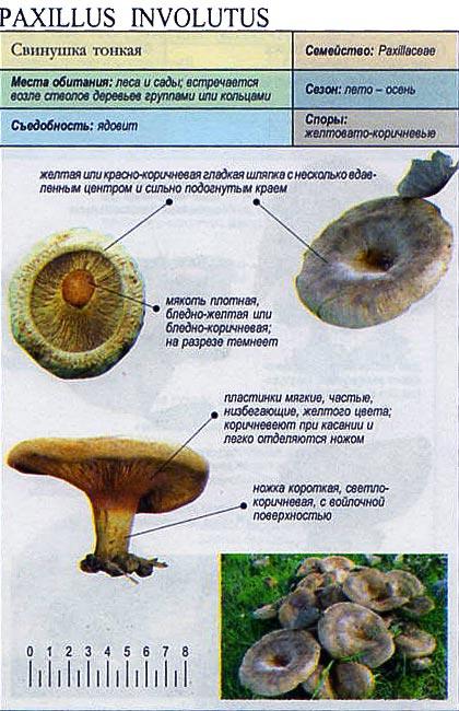 Свинушка тонкая / Paxillus involutus