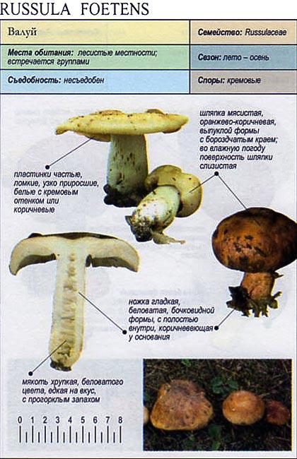 фото гриба валуй