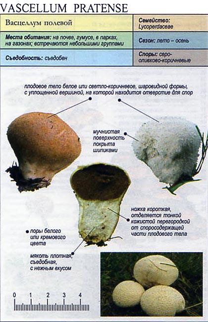 Васцеллум полевой / Vascellum pratense