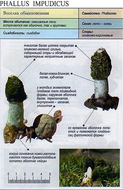 Веселка обыкновенная / Phallus impudicus