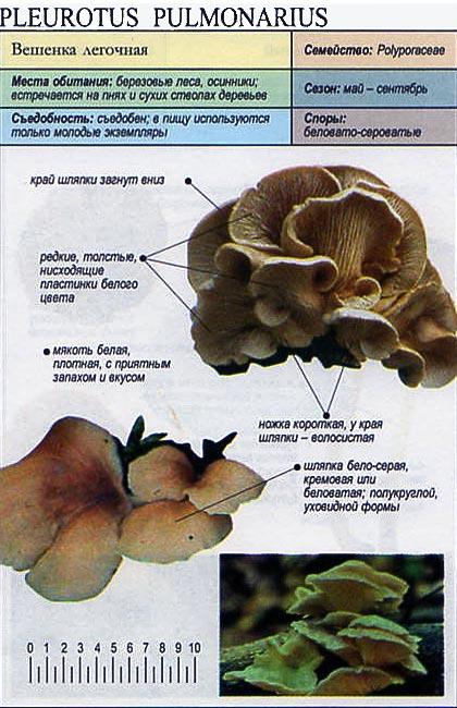 Вешенка легочная / Pleurotus pulmonarius