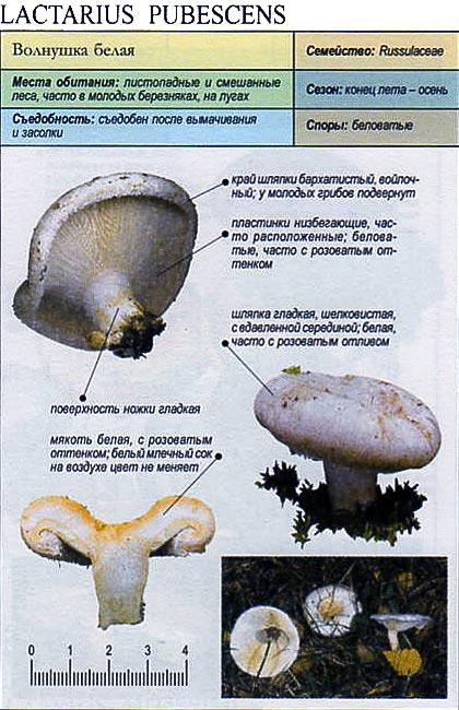 Волнушка белая / Lactarius pubescens