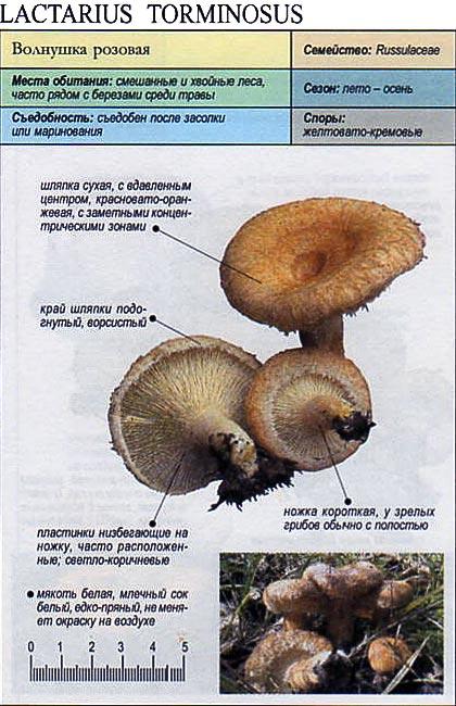 Волнушка розовая / Lactarius torminosus