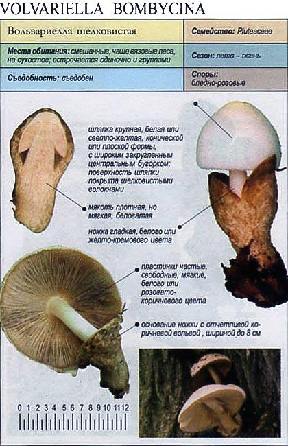 Вольвариелла шелковистая / Volvariella bombycina