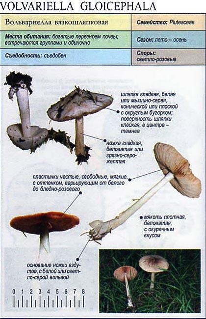 Вольвариелла вязкошляпковая / Volvariella gloicephala