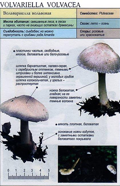 Вольвариелла вольвовая / Volvariella volvacea