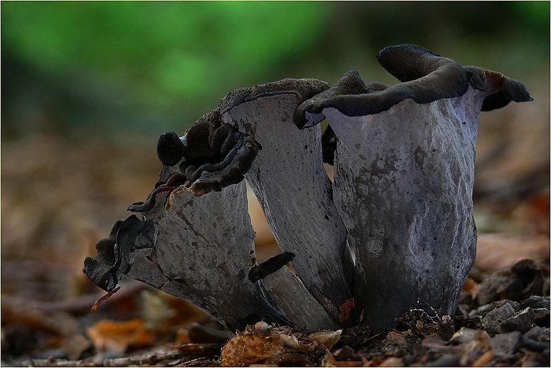 Вороночник рожковидный. Лисичка серая (Craterellus cornucopioides)