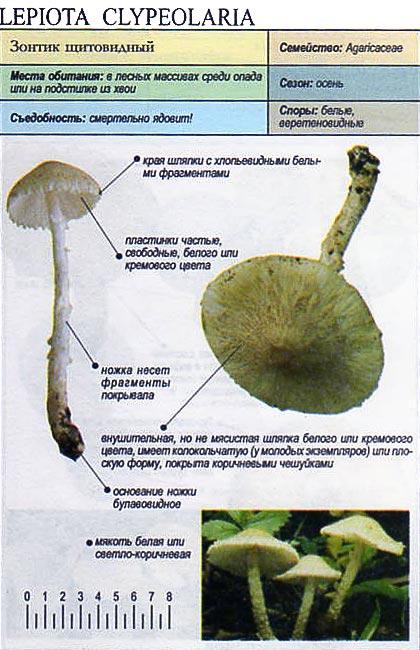 Зонтик щитовидный / Lepiota clypeolaria