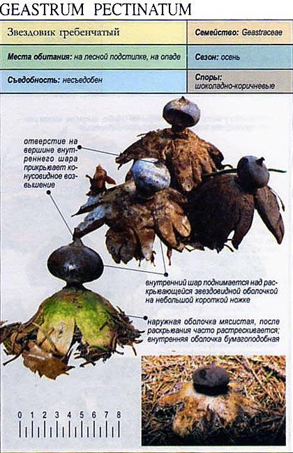 звездовик гриб фото