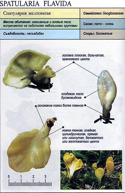 Спатулярия желтоватая / Spatularia flavida