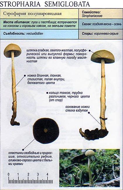 Строфария полушаровидная / Stropharia semiglobata