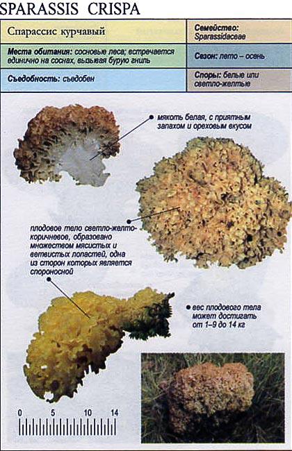 Спарассис курчавый / Sparassis crispa