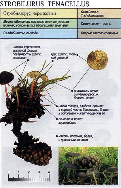 Стробилюрус черенковый / Strobilurus tenacellus