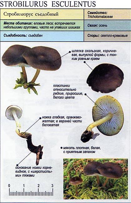 Стробилюрус съедобный / Strobilurus esculentus