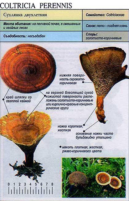 Сухлянка двухлетняя / Coltricia perennis