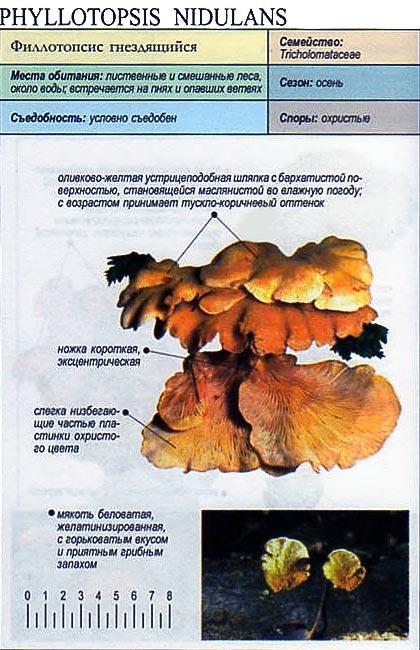 Филлотопсис гнездящийся / Phyllotopsis nidulans