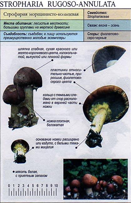 Строфария морщинисто-кольцевая / Stropharia rugoso-annulata