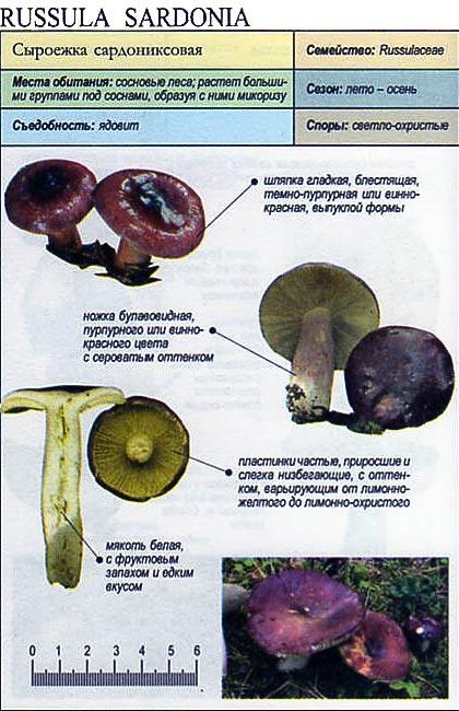 Сыроежка сардониксовая / Russula sardonia