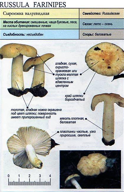 Сыроежка валуевидная / Russula farinipes