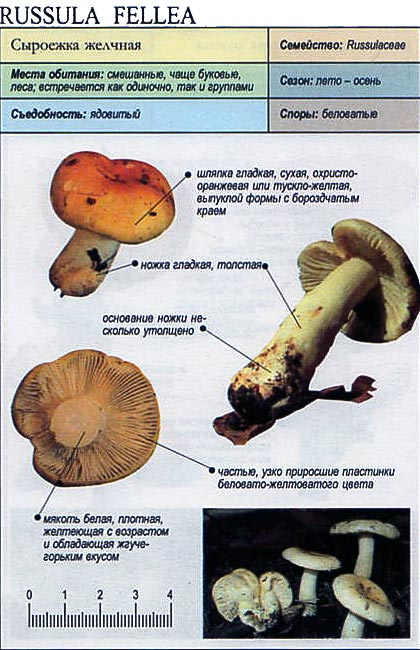 Сыроежка желчная / Russula fellea
