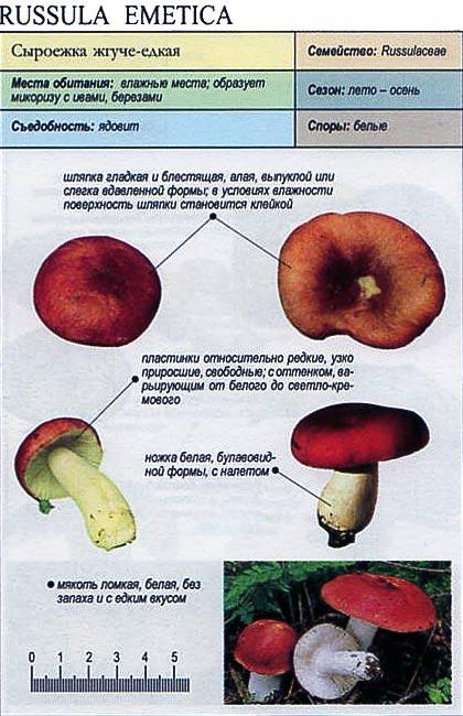 Сыроежка жгуче-едкая / Russula emetica