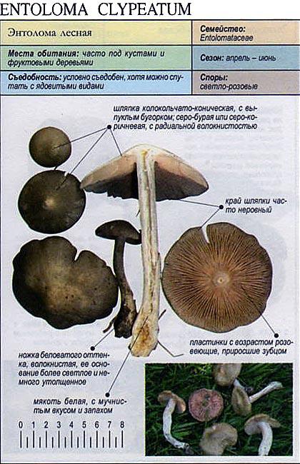 Энтолома лесная / Entoloma clypeatum