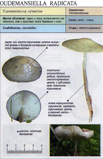 Удемансиелла лучистая / Oudemansiella radicata