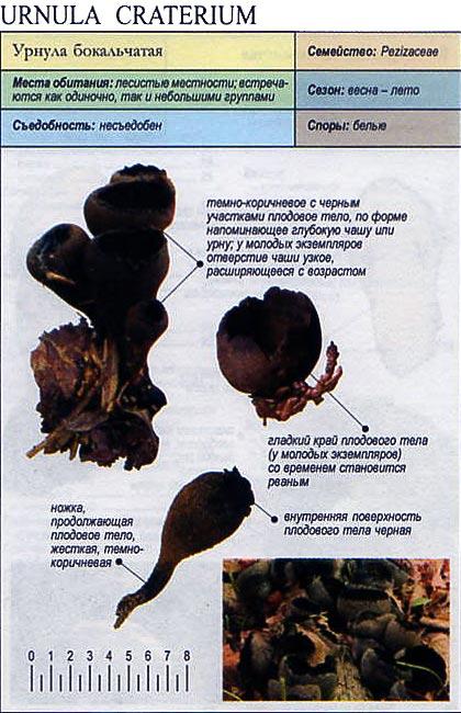 Урнула бокальчатая / Urnula craterium