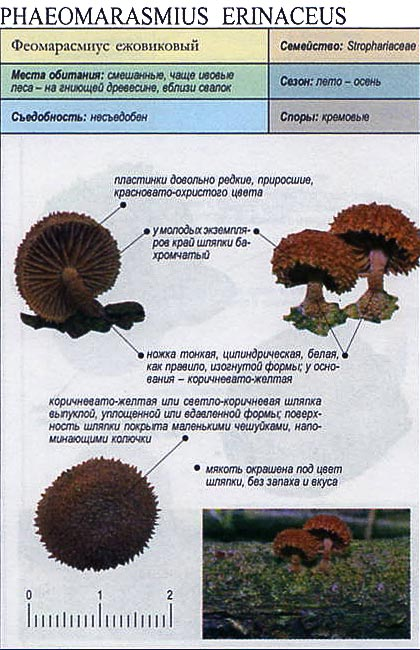 Феомарасмиус ежовиковый / Phaeomarasmius erinaceus