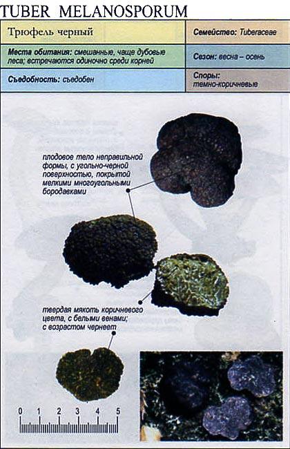 Трюфель черный / Tuber melanosporum