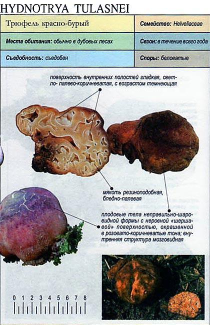 Трюфель красно-бурый / Hydnotrya tulasnei
