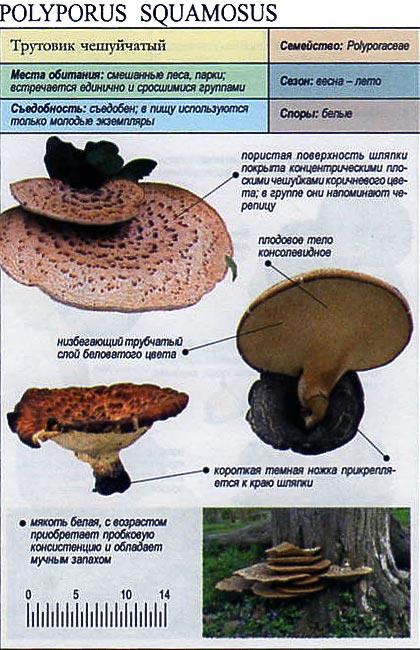 Трутовик чешуйчатый / Polyporus squamosus