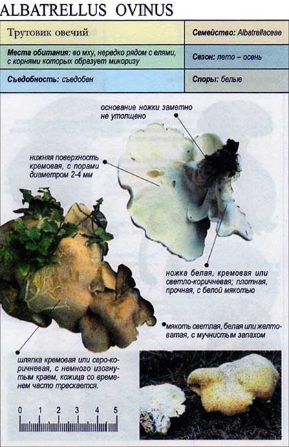 Трутовик овечий / Albatrellus ovinus