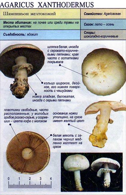 Шампиньон желтокожий / Agaricus xanthodermus