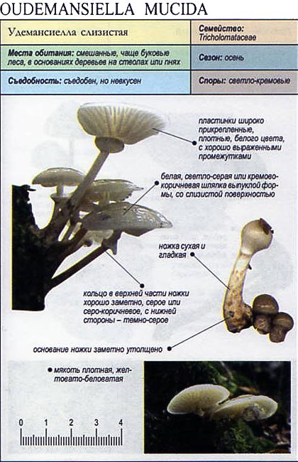 Удемансиелла слизистая / Oudemansiella mucida