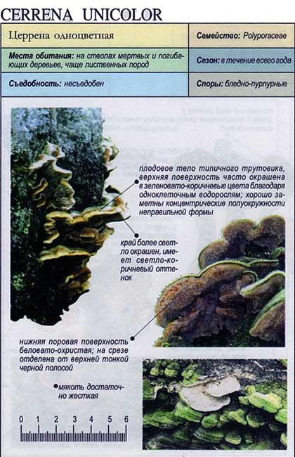 Церрена одноцветная / Cerrena unicolor