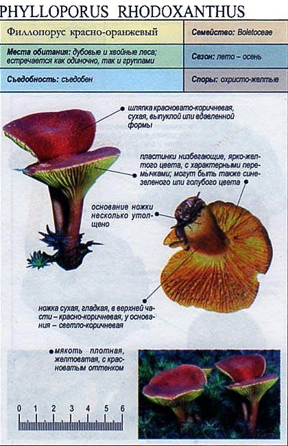 Филлопорус красно-оранжевый / Phylloporus rhodoxanthus