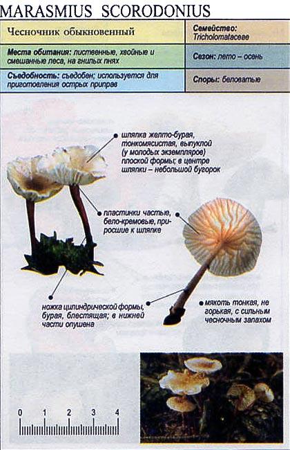 Чесночник обыкновенный / Marasmius scorodonius