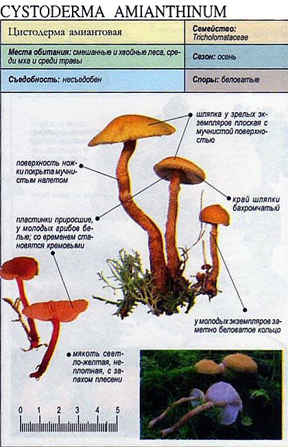 Цистодерма амиантовая / Cystoderma amianthinum