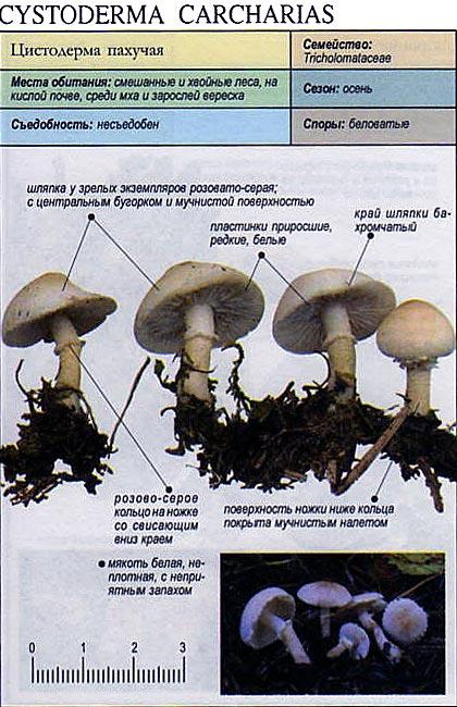 Цистодерма пахучая / Cystoderma carcharias