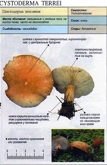 Цистодерма земляная / Cystoderma terrei