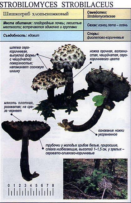 Шишкогриб хлопьеножковый / Strobilomyces strobilaceus