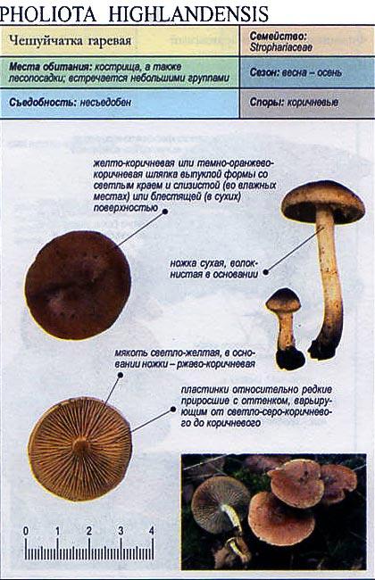 Чешуйчатка гаревая / Pholiota highlandensis